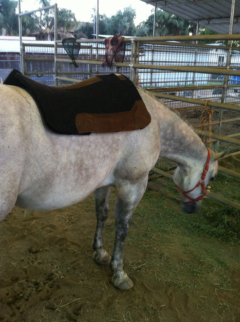 saddle pad on the back of the horse