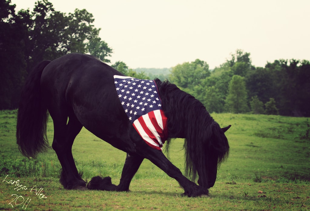 Bowing Friesan horse US flag