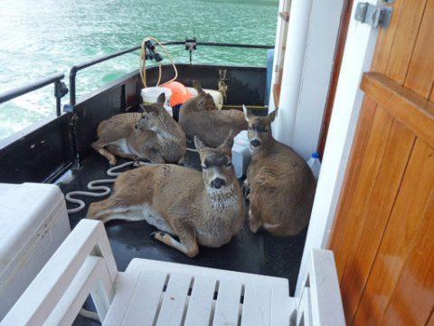 Deer on a Boat