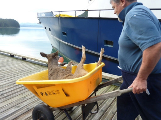 Deer Rescued from Drowning