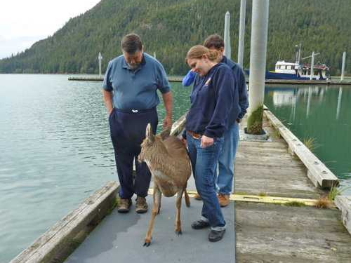 Deer on Dock after Rescued from Drowning