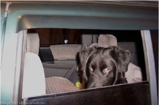 Black Lab in Car