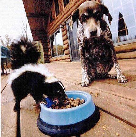 Skunk eating dogs food