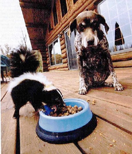 Skunk eating dogs food