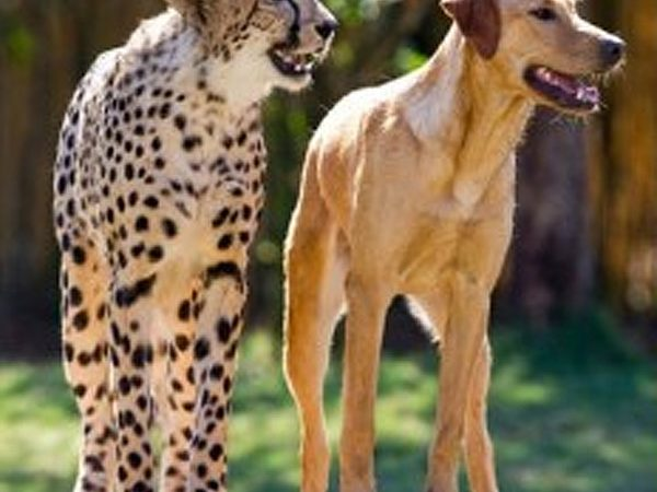 Dog and Cheetah
