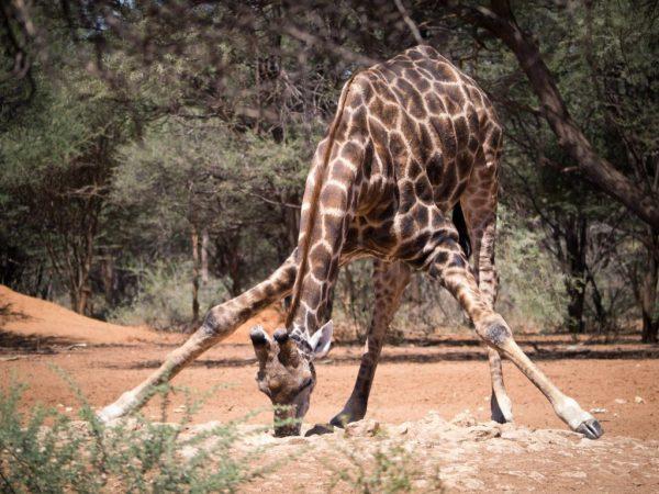Giraffe-Bowing