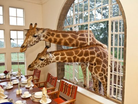Giraffe Head in Window
