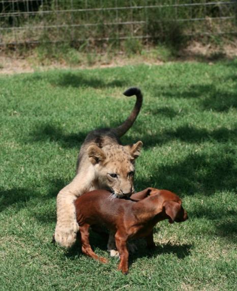 dachshund and cub
