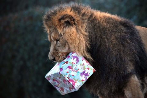 Lion Carrying Gift