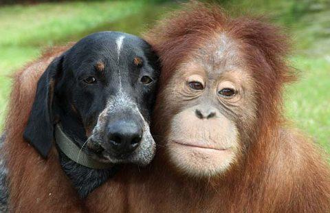 Orangutan Hound Dog