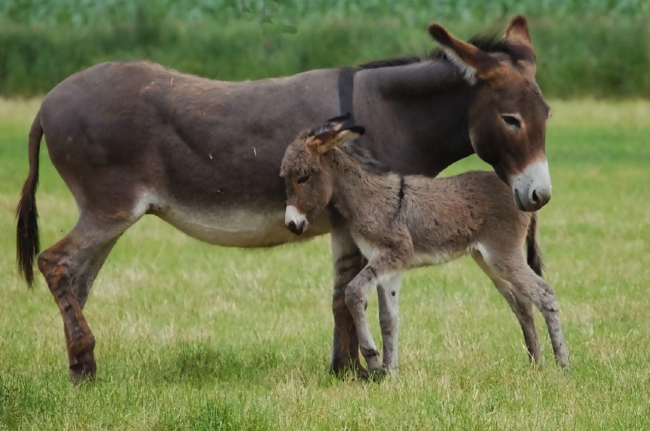 Nubian Donkey & Baby