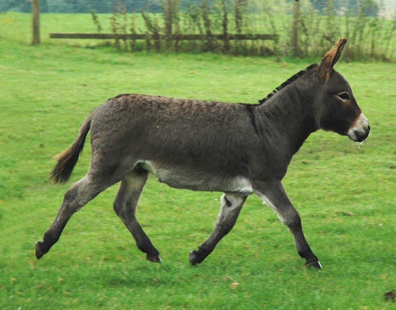 Nubian Donkey Running