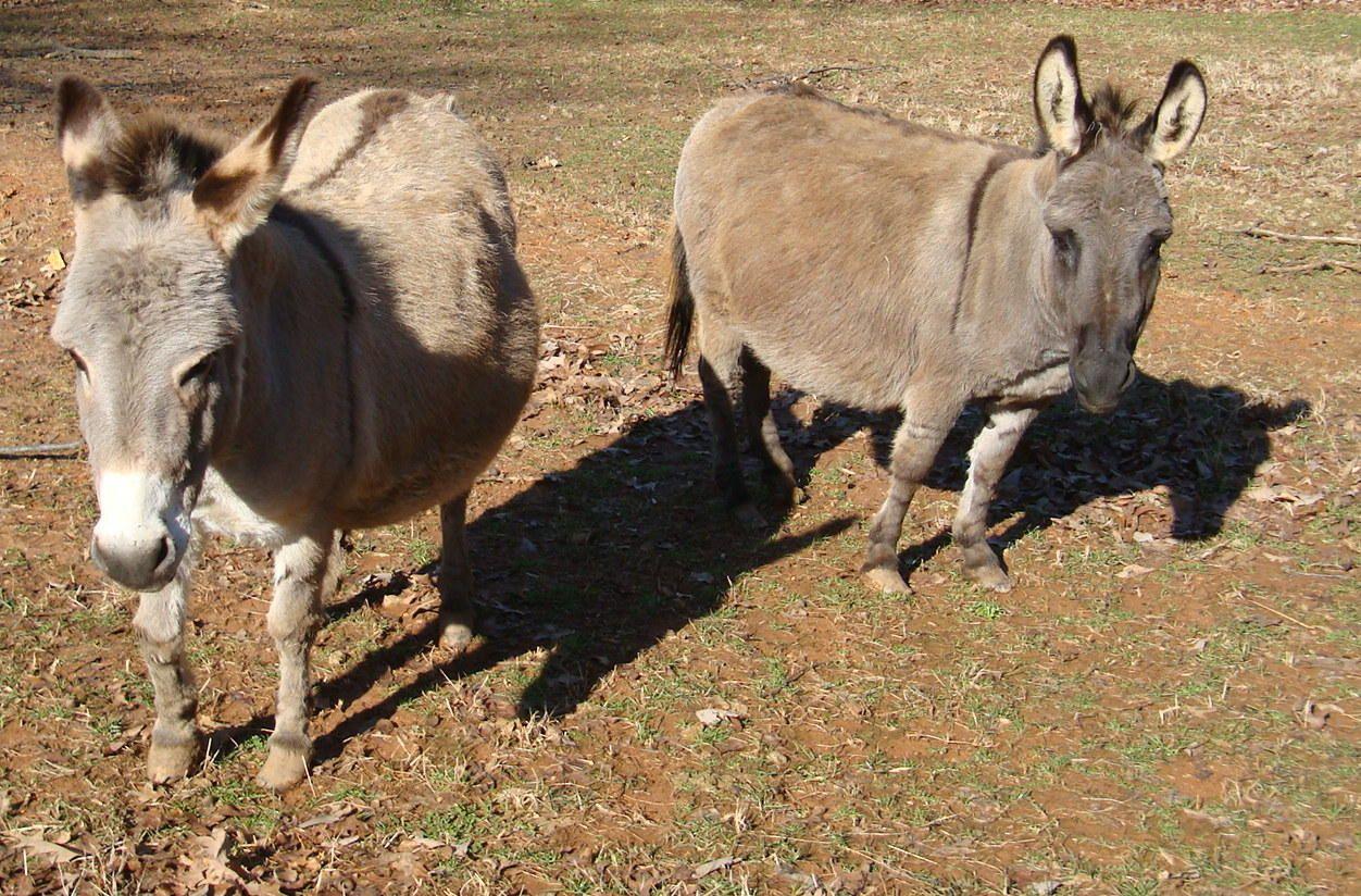 Donkeys Nubian