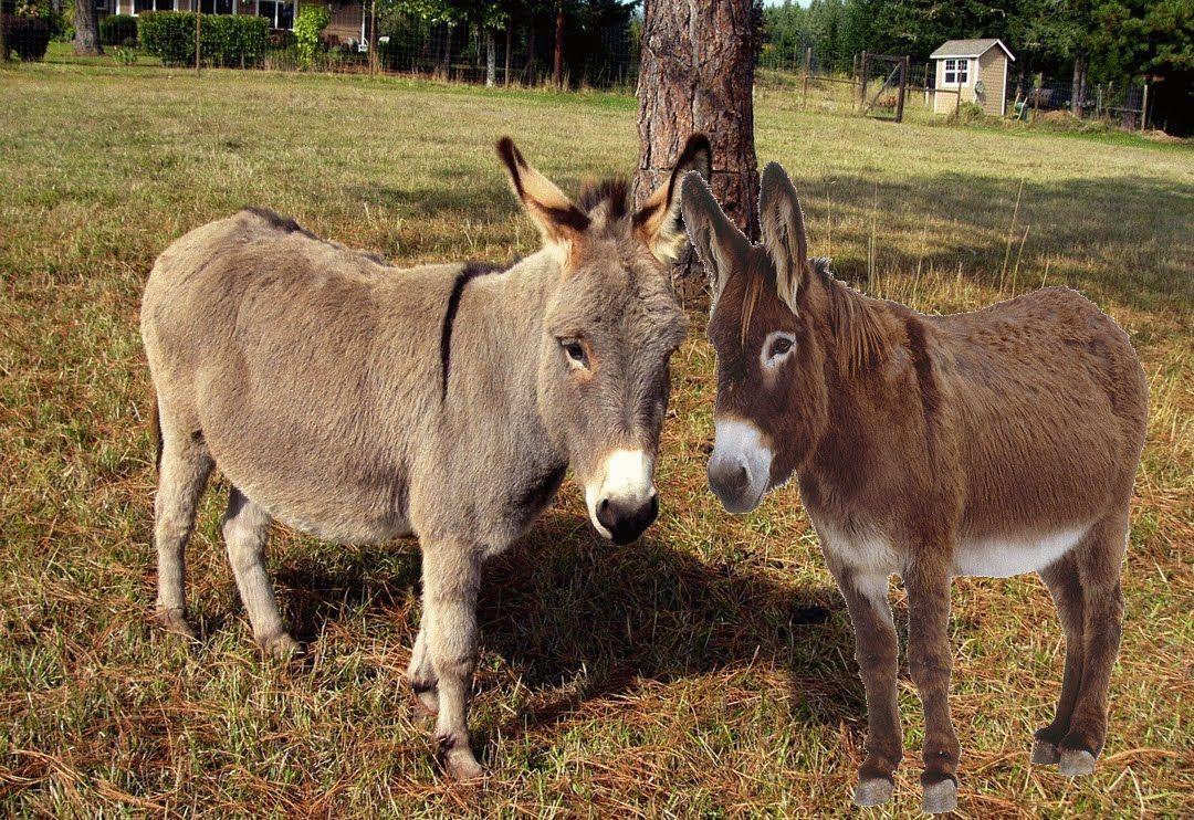 Two Nubian Donkeys
