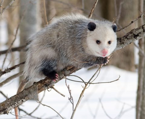 Opossum on Branch