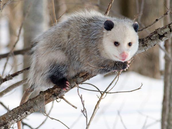 Opossum on Branch