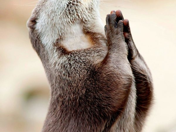 Praying Muskrat