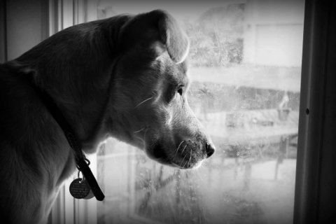 Sad Dog Waiting by Window