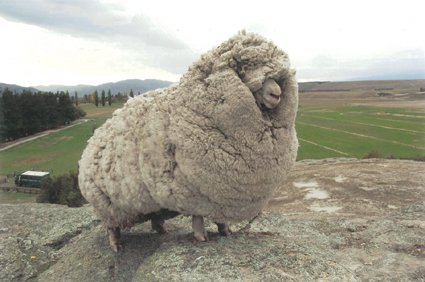 Shrek the Sheep