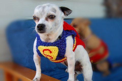 Superman Chihuahua