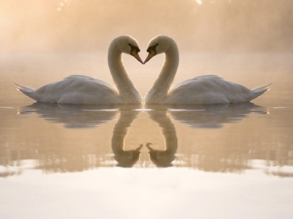 two swans make shape of heart