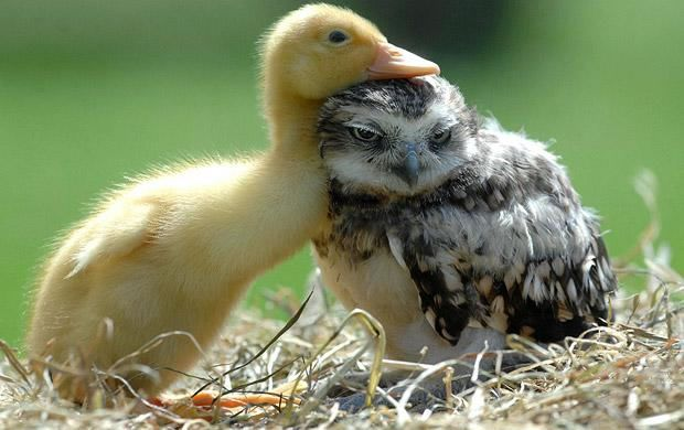 Duckling and Owl