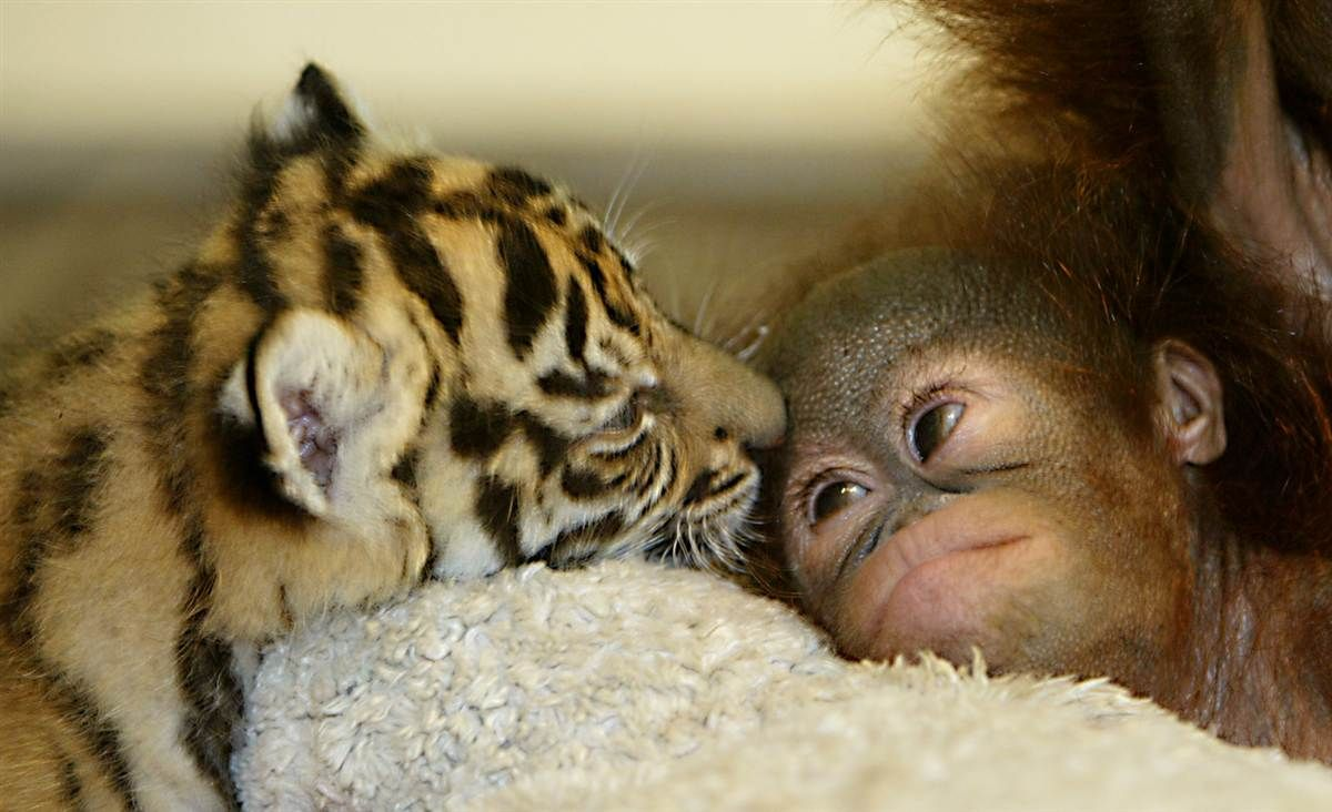 tiger cub and monkey