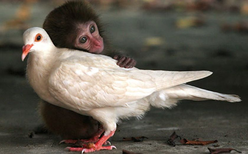 monkey and dove