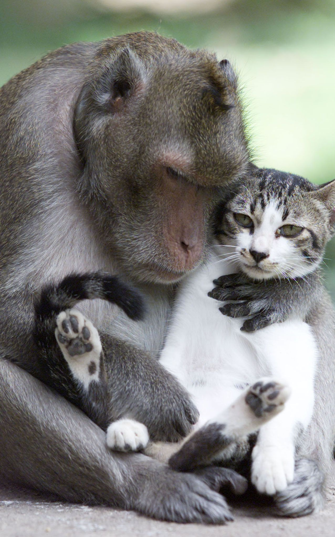 monkey hugs cat