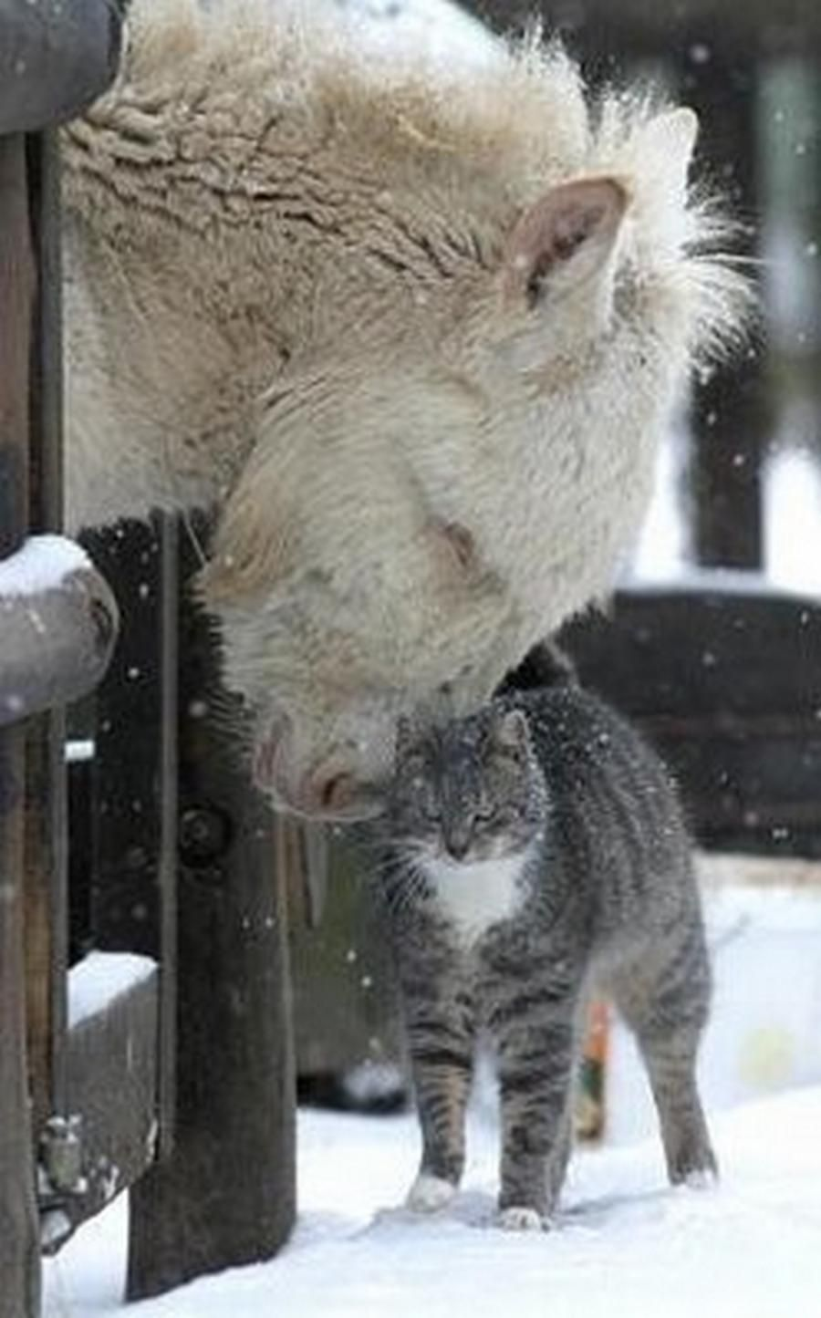 Bison and Cat