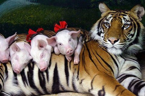 Tiger and Pigs