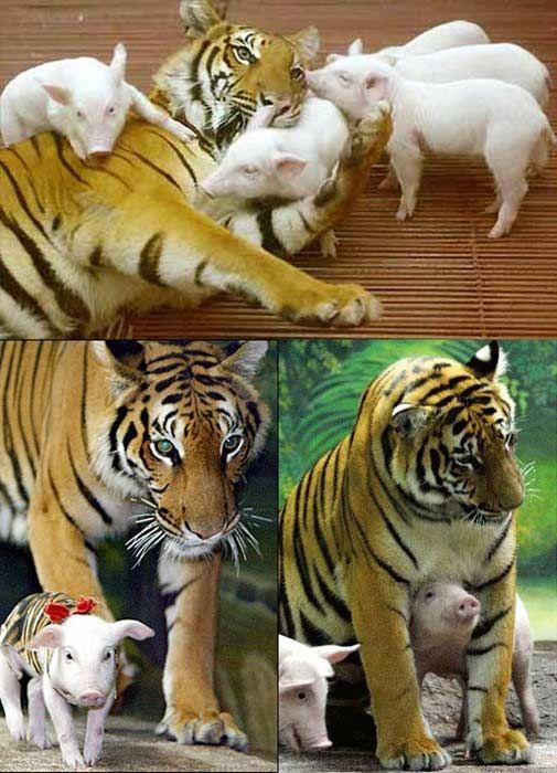 tiger piglets