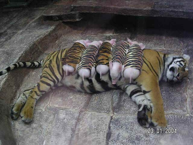 Tiger and Baby Pigs Unlikely Friends
