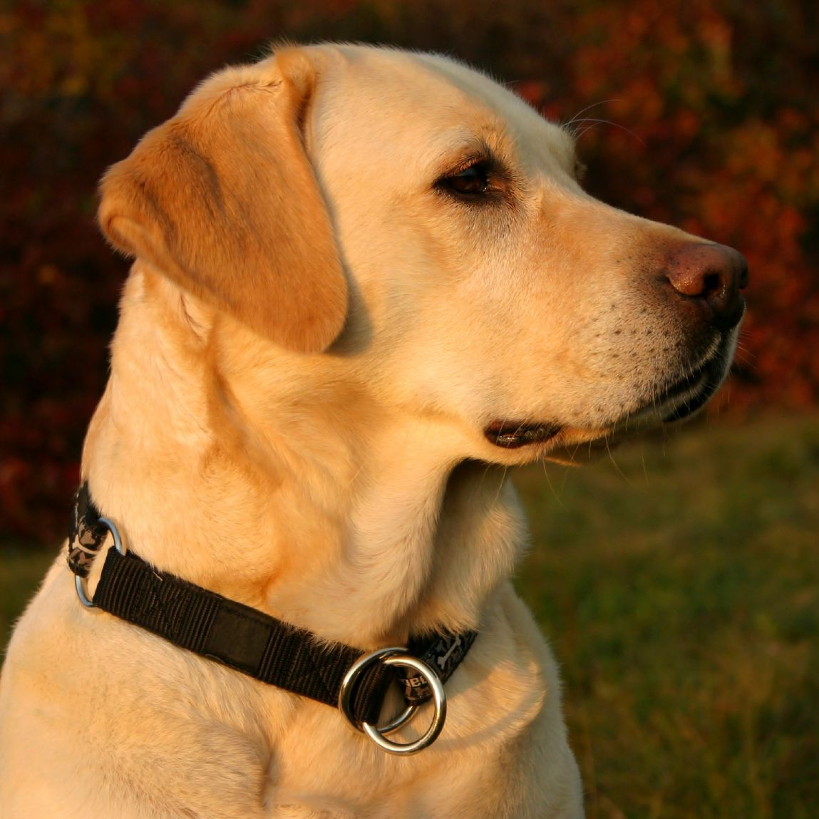 Yellow Lab Dog