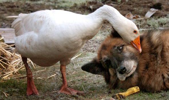 Unlikely Friends Dog Goose