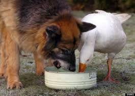 Dog Goose Eating