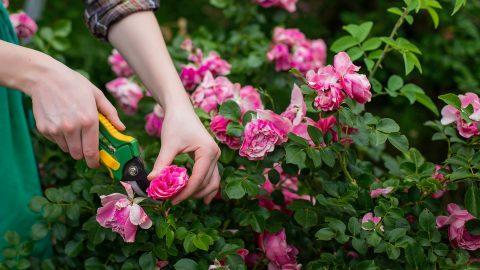 pruning-roses