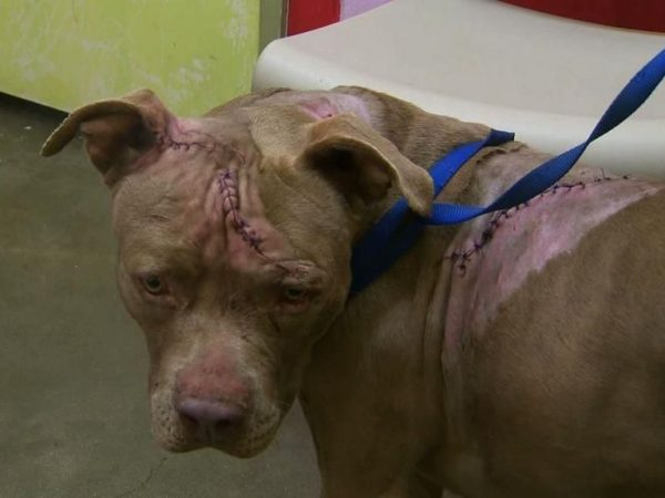 Pit bull Attacked by Knives