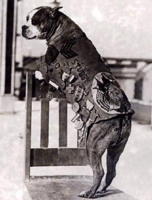 Pit Bull / Terrier mix, named Stubby