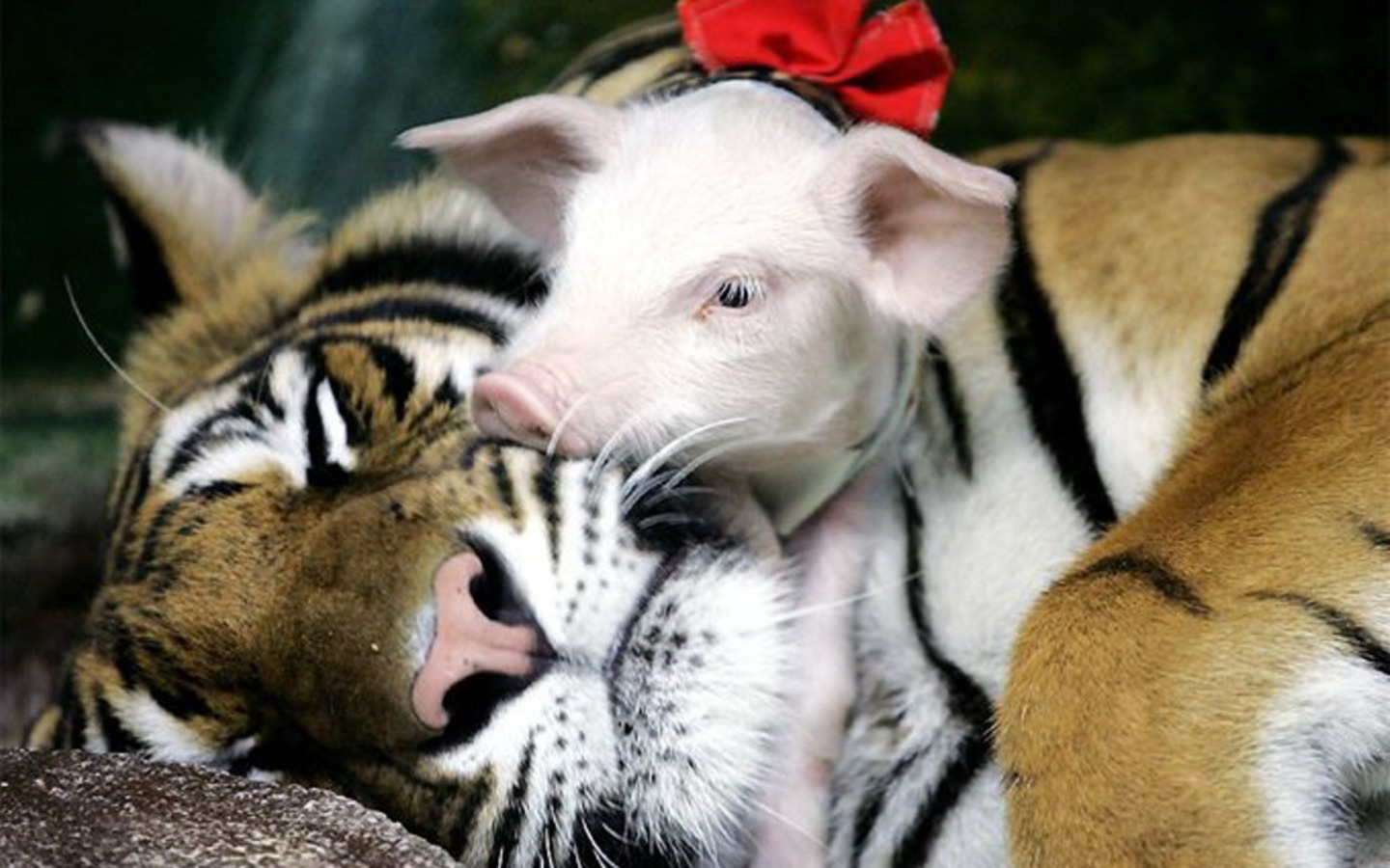 Baby Pig on Mom Tiger